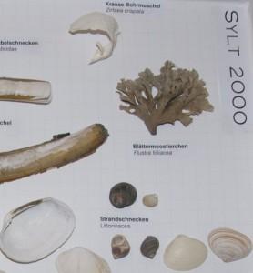 Ausschnitt aus Schaukasten mit einem Blättermoostierchen-Büschel